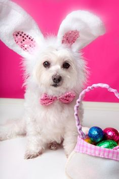 A dog wearing bunny ears sits beside a bag ful of delicious easter eggs. Free art print of Easter dog with bunny ears and eggs. Funny Dog Photos, Cute Dog Pictures, Funny Dogs, Cute Dogs, Pet Photos, Funny Memes, Dog Calendar, Calendar Ideas, Easter Pictures
