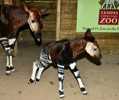 Okapi baby and mom image via Tampa's Lowry Park Zoo at www.Facebook.com/TampaZoo