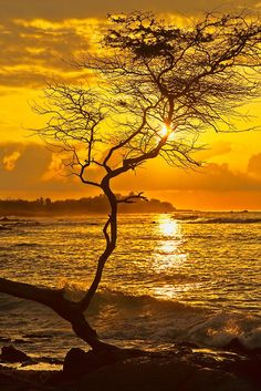 Sunset at Anaeho'omalu Bay near Waikoloa on the Kohala Coast of the Big Island of Hawaii. This koa tree branch is a prime spot for taking pictures at sunset.