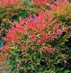 Heavenly bamboo (Nandina domestica) is perhaps the first to come to mind. These shrubs have it all; soft leaves in shades of green, chartreuse, burgundy and purple deepen to rich red in winter, especially when planted in full sun.