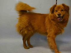 TO DIE 9/27/15. #NYC. NH. KUBA – A1052621-MALE chow chow/border collie mx. FRIENDLY. SCARED.  http://nycdogs.urgentpodr.org/kuba-a1052621/