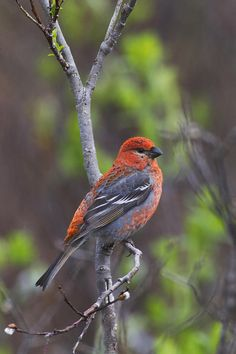 Male Pine Grosbeak Perched On Willow Photograph by Milo Burcham