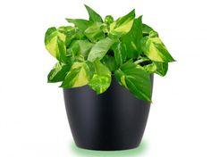 La pianta Pothos è ideale da sistemare in garage, poiché è un'altra alleata nella lotta contro la formaldeide. È una pianta molto robusta che non necessita di molta luce e quindi può essere posta anche in luoghi non troppo assolati.