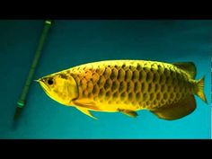 Things To Know Before Looking For Arowana Fish For Sale