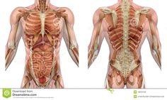 Spieren en organen en botten