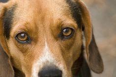 dog's eyes | Beagle Hound Dog Eyes Of Love Photograph