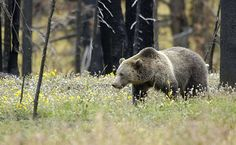 Feds Announce Plans To Restore Grizzly Bears In Washington State | Care2 Causes