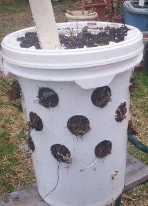 Strawberry ebucket. He fit 21 plants in this!