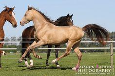 amber champagne - 7/8 Arabian 1/16 Saddlebred 1/16 Quarter Horse stallion Kharamel GF
