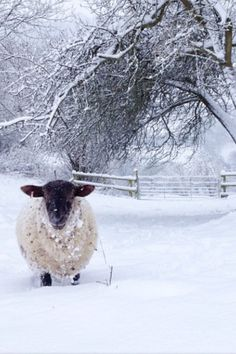 I loved seeing our sheep in the snowy fields and around the barn. We had Suffolk sheep and the contrast between white snow and their black faces and legs was very striking. Snow Scenes, Winter Scenes, Alpacas, Beautiful Creatures, Animals Beautiful, Farm Animals, Cute Animals, Crow's Nest, Sheep And Lamb