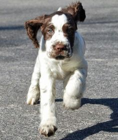 Max the English Springer Spaniel how cute!!!
