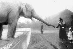Spokojený: Slon jí z ženská ruka v zoo před tím, než byla zdecimována válkou