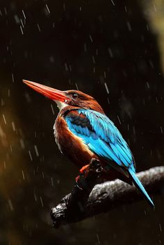 White-Breasted Kingfisher by jeremyjonkman, via Flickr