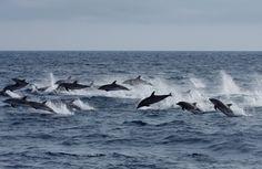 Delfines en Canarias.No al proyecto de la petrolera BP