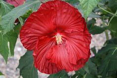 Hibiscus Summerific Cranberry Crush