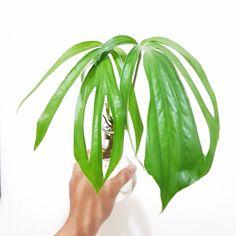This item is unavailable Philadendron Plant, Plant Decor, Plant Leaves, Rare Plants, Exotic Plants, Green Plants, Plant Companies, Mother Plant, Foliage Plants