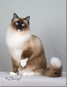 Pictures of Ragdoll Cats with White Tipped Tails  http://www.floppycats.com/pictures-of-ragdoll-cats-with-white-tipped-tails.html