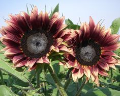 SunflowerSelections.com is the original source for the world's best ornamental sunflower seeds for the home gardener and professional cut flower grower featuring ProCut Orange, unique bouquet types, and miniature pot varieties and giant hybrids.