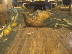 Fishermen find angry sea lion in net - GrindTV.com
