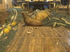 Fishermen find angry sea lion in net - GrindTV.com