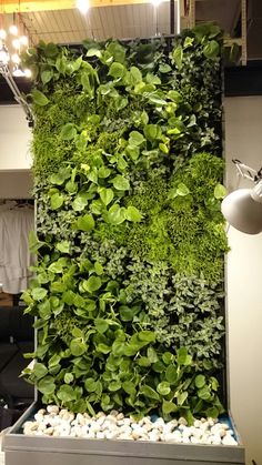 simple small green wall in lithuania some species of ripsalis pilea cadierei and philodendron living wallsvertical gardensgreen - Verde Vertical Garden