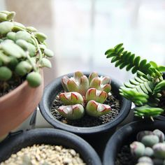 "412 gilla-markeringar, 2 kommentarer - ⠀ ⠀⠀⠀⠀⠀⠀⠀🌿Succulent Zen Garden (@zen.garden) på Instagram: ""🙌🏻 탈피전 가장진한라인을 그리는 #코노5z#Conophytum#코노z 🌿 #다육식물#succulent #succulents #suculenta #다육이#코노피튬#난z"""