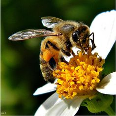 The best and worst insects in the world-Honey Bee