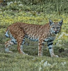 Bobcat [Lynx rufus] This bobcat with the beautiful spotted coat is probably one of the 12 recognized subspecies of this North American wildcat in the Lynx species.