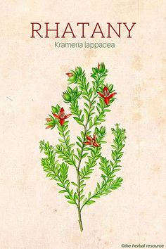 Root as Herbal Medicine Rhatany (Krameria lappacea) high tannins so astringent, topically and ingested.Rhatany (Krameria lappacea) high tannins so astringent, topically and ingested. Herbal Plants, Medicinal Plants, Natural Herbs, Natural Healing, Natural Medicine, Herbal Medicine, Herbs For Health, Wild Edibles, Edible Plants