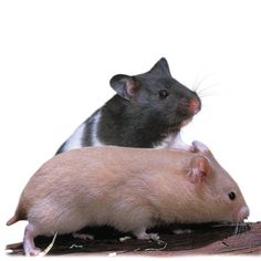 Fancy black bear hamster. I Love them!!! They r Soooooooo