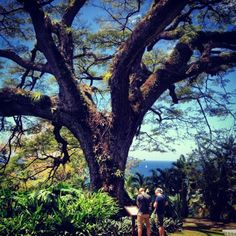 Startle member Ashley Pyle of Chicago  visited the Botanical Gardens at Romney Manor in Basseterre, St. Kitts. There, she saw this nearly 400-year-old saman tree.