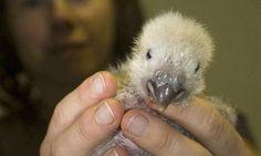Eco Soundings: Fry helps the flightless Kakapo bird | Environment ...