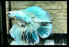 AquaBid.com - ***EMPEROR SANTORINI  Doubletail