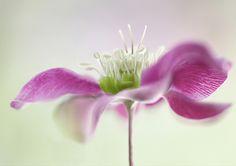 Hellebore   Mandy Disher   Flickr