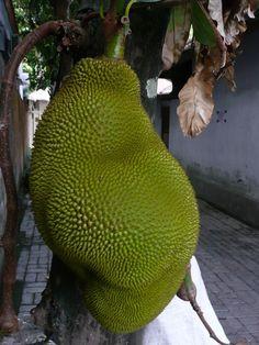 Fruit tree in Bali