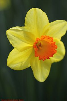 Large-Cupped Narcissus 'Red Devon'