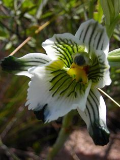 Orchid: Chloraea bletioides - Flickr - Photo Sharing!