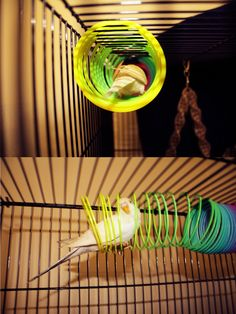 http://ileolai.tumblr.com/post/59832613526/the-thing-about-budgies-liking-slinkies-is-true