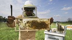 On Sept. 10, a US federal appeals court came down hard against the Environmental Protection Agency for approving the use of a pesticide called sulfoxaflur without reviewing enough evidence to know whether or not it is harmful to bees. It was the first time that the US government has banned use of the insecticide nationwide over concern for its longterm effects on honey bees, and challenged the EPA to produce more field studies on its safety. The ban is considered a big win for the beekeeping ind
