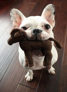 Cute French Bulldog is playing with toy horse:- The French Bulldog is a small breed of.... to see more click on picture Limited Edition French Bulldog Tee