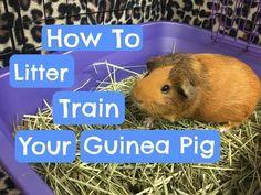 Litter Training Your Guinea Pig - YouTube