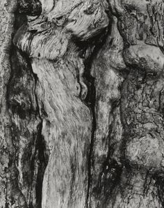 Paul Strand (American, 1890–1976), Apple Tree, Vermont, 1943 (negative) / 1960s (print), gelatin silver print, 9 5/8 × 7 5/8 inches. Philadelphia Museum of Art, The Paul Strand Collection, gift of Lynne and Harold Honickman, 2013-188-42. © Paul Strand Archive/Aperture Foundation