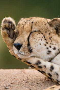 Picture of a sleepy cheetah. #mammal #cheetah