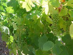 フランスなどのワイン用ブドウ、早期収穫限界か   オピニオンの「ビューポイント」