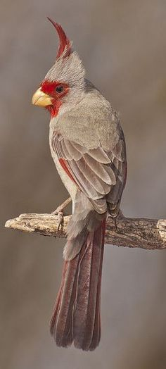 Meksika Kardinali (Pyrrhuloxia )