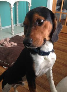 Hi ! I'm Dex and I'm a 1 yr old Beagle mix. I'm so very sweet and love people ! I love other dogs and am fine with cats. Since I have some Beagle in me I will need a fenced yard so I don't get lost ! I am neutered , up to date on shots and micro...