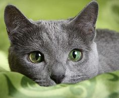 If you are looking for a truly unique and beautiful kitten you don't have to look much further than the Russian Blue breed. Delightful Discover The Russian Blue Cats Ideas. Grey Cats, Blue Cats, Beautiful Cats, Animals Beautiful, Cool Cats, I Love Cats, Animals And Pets, Cute Animals, Animal Gato