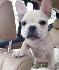 """Surrender the Wheel Hooman""... ""You Drive like a Grandma!"", funny French Bulldog Puppy, Backseat Driver."