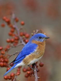 Missouri State Bird - Eastern Bluebird