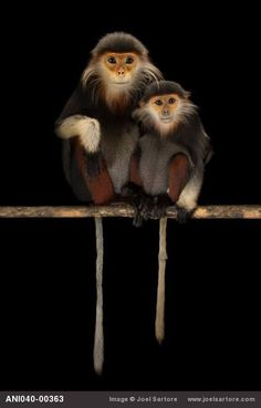 Frans de Waal - Public Page   DOUCS  Two endangered red-shanked douc langurs from the Endangered Primate Rescue Center in Cuc Phuong National Park, Vietnam. Photograph by Joel Sartore - joelsartore.com